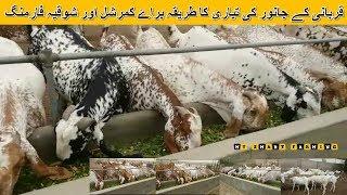 52 | Practical Goat Farming | قربانی کے جانور کی تیاری کا طریقہ براۓ کمرشل اور شوقیہ فارمنگ |