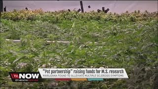 Forget the 'ice bucket challenge', Uber and Colorado are using marijuana to raise money for MS