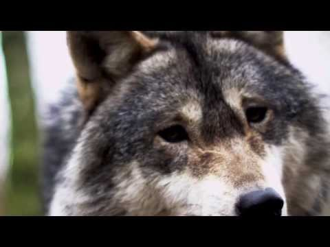 Without Wolves: Why We Would All be Impoverished by the Loss of Wolves