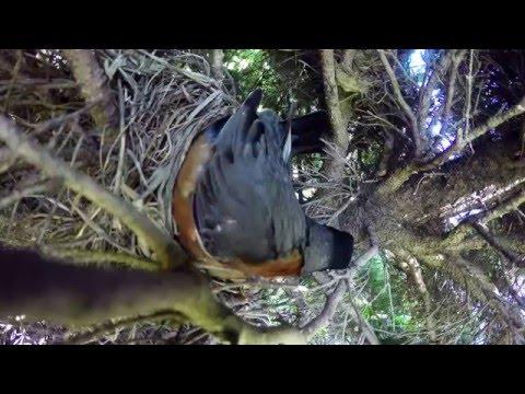 Quiso filmar el nacimiento de unos polluelos, pero pasó algo terrible
