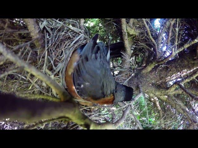 Snake Steals Eggs From Bird's Nest - Video