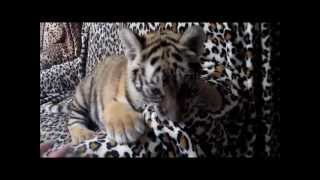Tiger cubs frist day at new home
