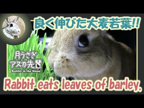 良く伸びた大麦若葉!!【ウサギのだいだい 】2016年6月28日