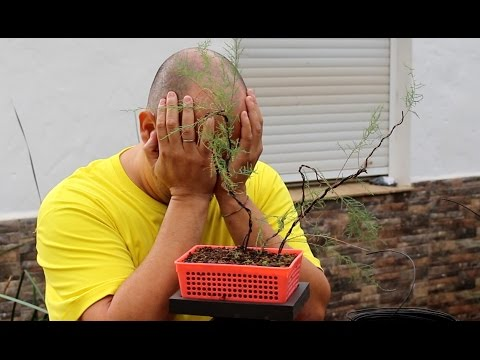 Bonsai Zero LLORÓN - Taray - FAIL FAIL