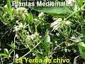 Plantas Medicinales de La Yerba de chivo
