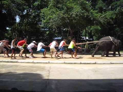 Elephant Crocodile Tug of War Thai Elephant Tug of War
