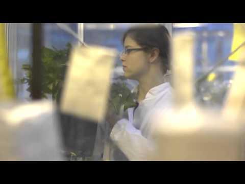 Continental AG разрабатывает технологию получения из одуванчиков каучука