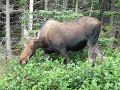 Moose in Gros Morne National Park  (P3)