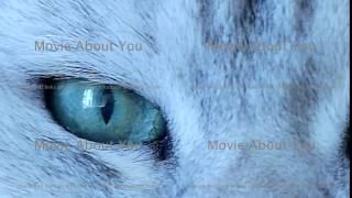 Beautiful british chinchilla cat green eyes