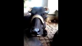 [Buffalo eating her food :)] Video