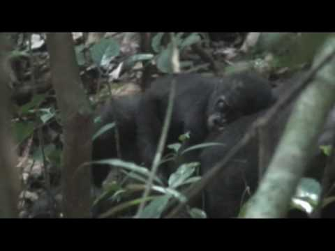 Mama Tembo Tours- Western Lowland Gorilla & Forest Elephant Safari Central African Republic