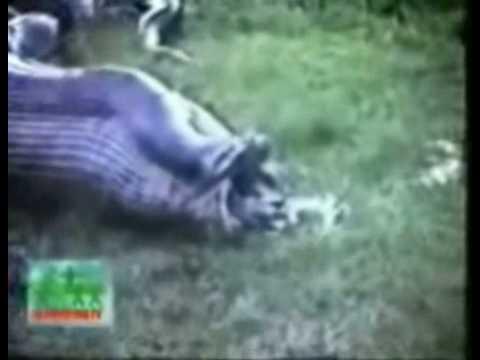 snake eats hippo - YouTube