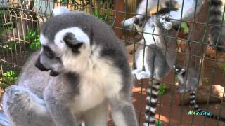 Lemuri del Madagascar Lemurs small monkeys escape from the cage