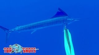Spearfishing Sailfish - in the Coral Sea