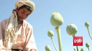 Poppy Fields Flourish In Govt-Controlled Greshk