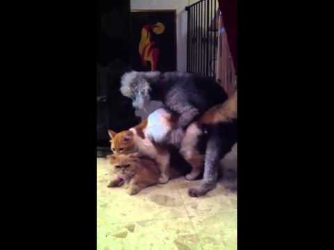 Small Dog Mating Cats Breeding video