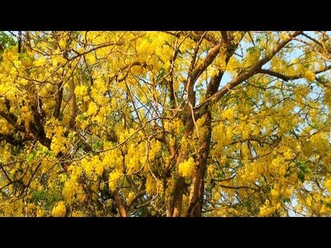 Golden Shower Tree in Full Bloom