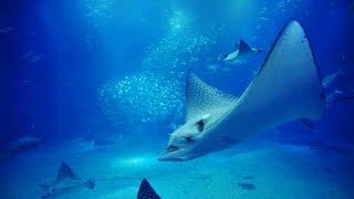"""【海遊館】 大水槽の動画映像12時間  (central tank of osaka aquarium """"KAIYUKAN"""" 12hours)"""