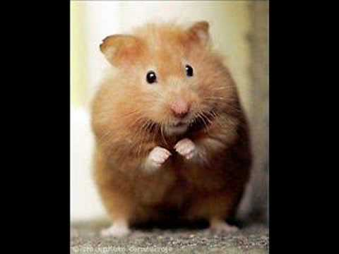 Hampton The Hampster - The Hamster Dance Reverse video