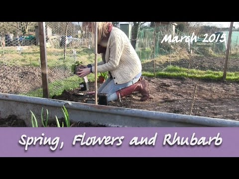 Katie's Allotment - March 2015 - Spring, Flowers and Rhubarb