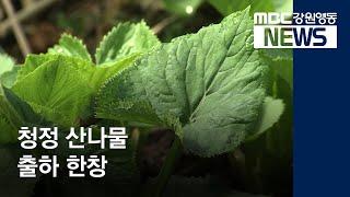 R]'강원 청정 산나물' 출하 한창