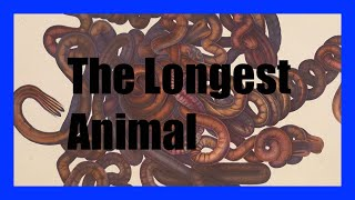 The Longest Animal on Earth | Office Hours Podcast #002