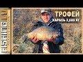 Улов трофейного карася, заводь на реке, рыбалка на линя | Karūsu cope! 2,605 kg, un Līnis