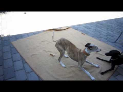 Italian Greyhound taunts Whippet to play!
