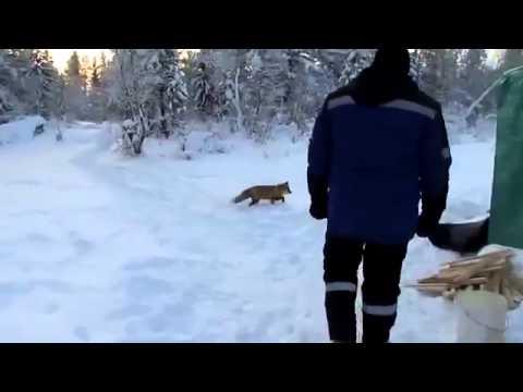 Наглая лиса, видео  про животных Случай на зимней рыбалке