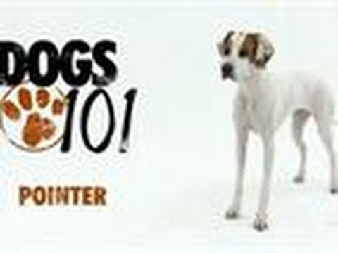 Dogs 101 - Pointer