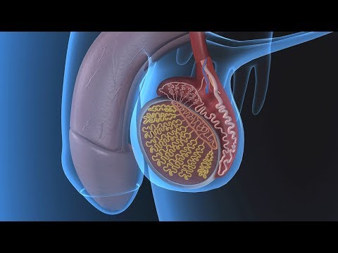 Human Physiology - Functional Anatomy of the Male Reproductive System