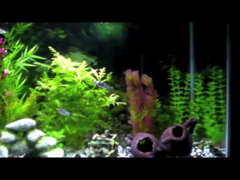 New Bumblebee Catfish & Pregnant Platy ( read disc.)