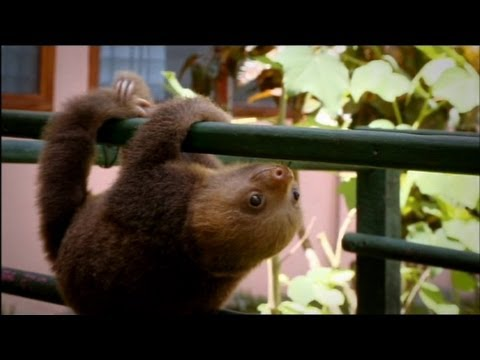 baby-sloths-learning-to-climb.html