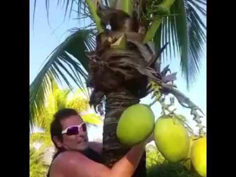 How to clim a coconut tree