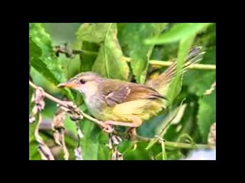 Burung Prenjak Sawah Gacor Teler video