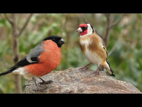 Videos for Cats ....and People to Watch - Garden Birds and Bird Sounds Extravaganza