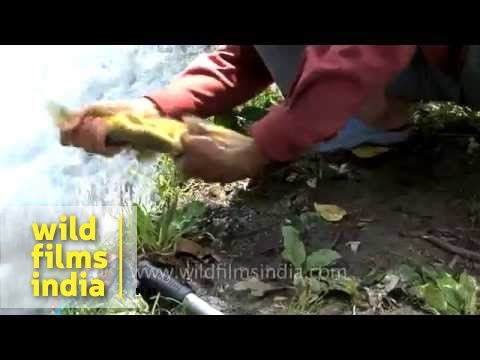 Rainbow trout cleaning Jhelum Angling Expedition Jammu & Kashmir 8