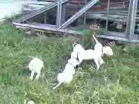 Dogo Argentino Puppy. dogo argentino puppy