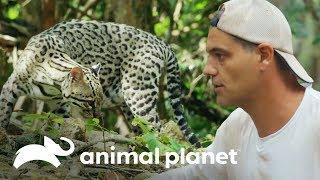 Jaguatirica: O tigrinho da América Latina | Perdido no México | Animal Planet Brasil