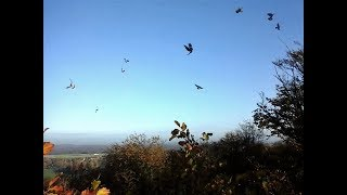 special best of CHASSE PIGEONS RAMIERS/ PALOMBES VOL MIGRATION 2016-2017