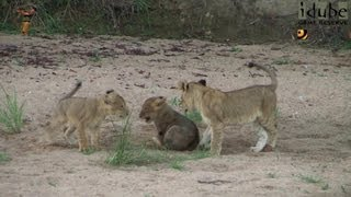 LIONS: Following The Pride 15: Energetic Cubs #youtubeZA