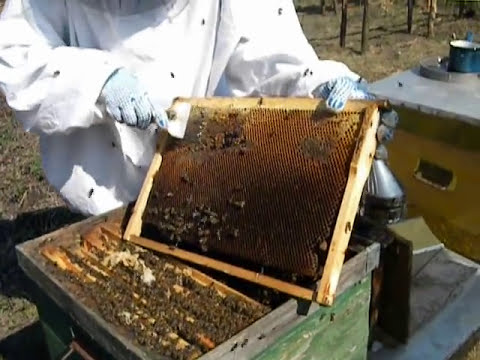 debut in apicultura