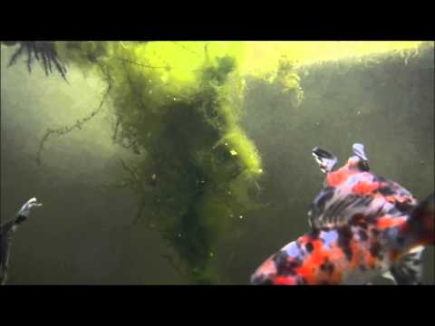 Shubunkin videolike for Carpa koi allevamento