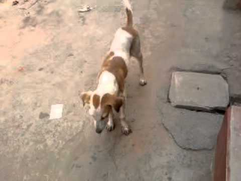 Desi Dog video