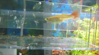 Guppies - Fry to Adult