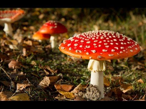 Magic Mushrooms May Explain Santa & His 'Flying' Reindeer