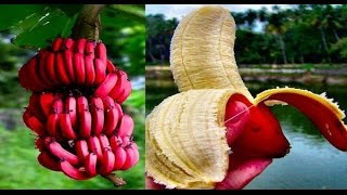 Amazing Benefits Of Red Bananas – They Call It The ''Special Fruit'' And This Is Why