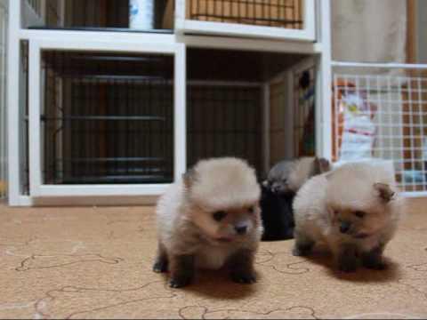 ポメラニアンの子犬たちがいっぱいころころ転がってます