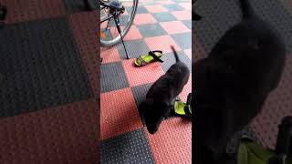 BLACKY LAB DOG training 🐕🐕