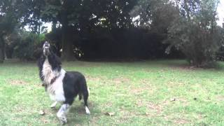 Border Collie slow motion Sony Action cam